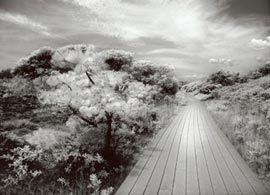 Digital B/W infrared image taken with canon 20d creates a sureal vision of Fire Island boardwalk